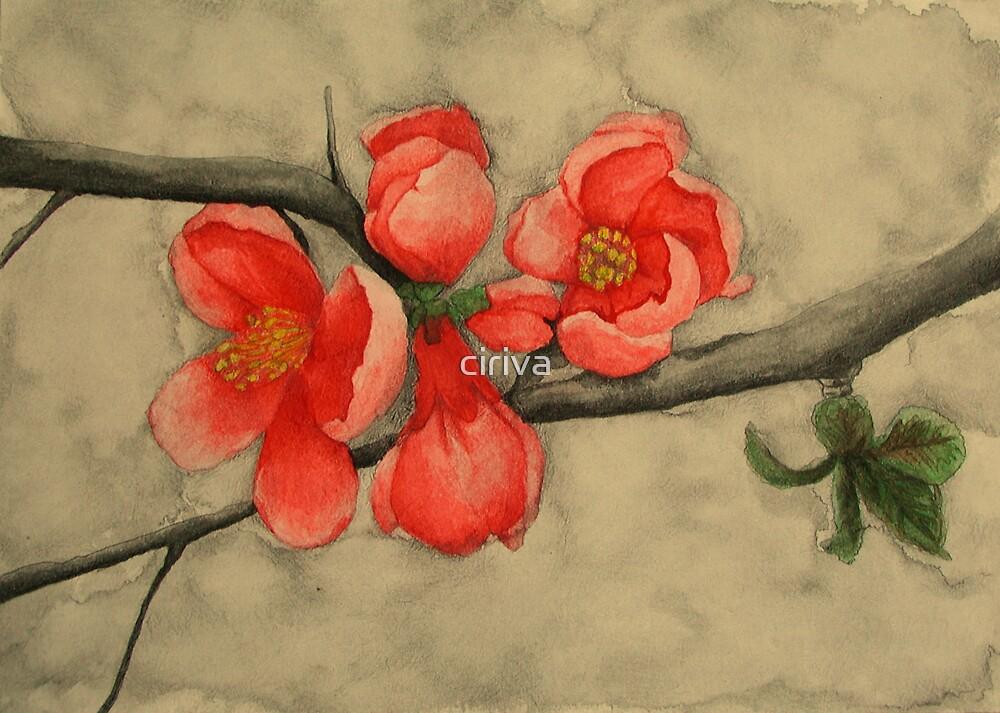 Apple Blossom by ciriva