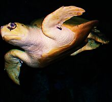 Sea Turtle  by Charles Buchanan