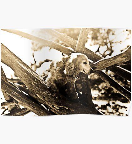 Cocker Spaniel climbing Fallen Tree Poster