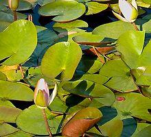Water Lily II   / by Shelley  Stockton Wynn