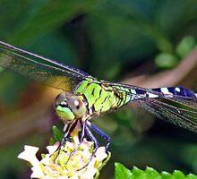 Dragonfly by ClintDMc