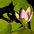 Water Lily III   / by Shelley  Stockton Wynn