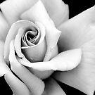 Rose by Philip Cozzolino