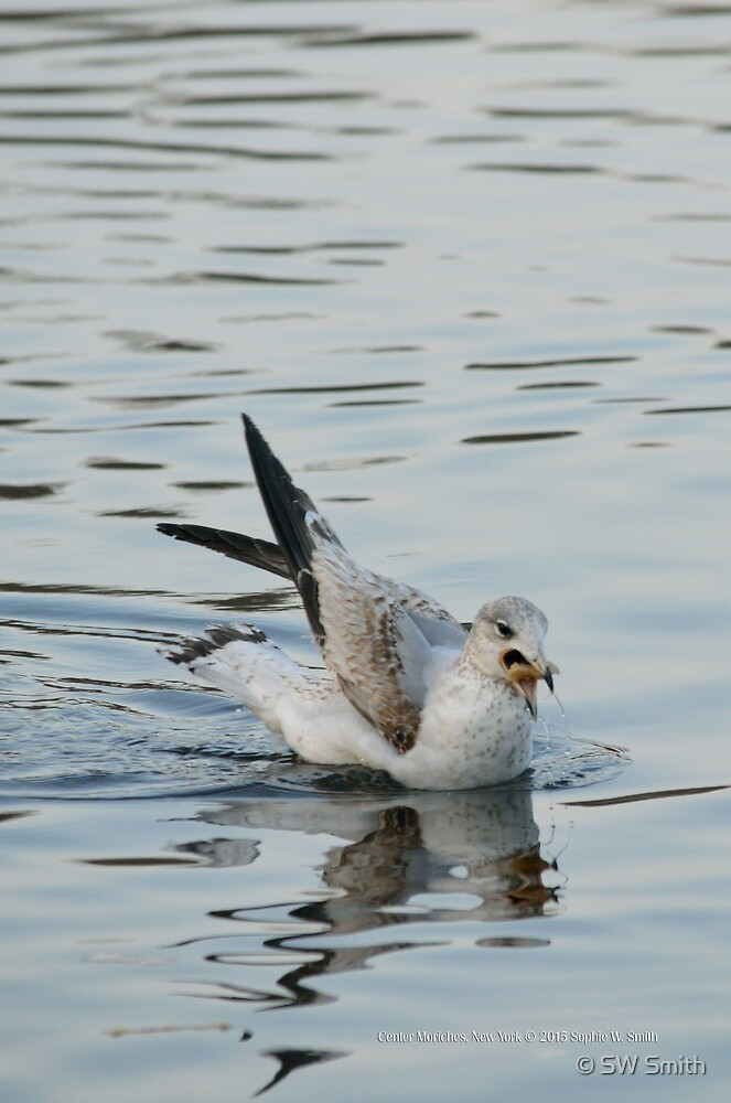 Larus Delawarensis - Ring-Billed Gull Eating   East Moriches, New York  by © Sophie W. Smith
