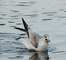 Larus Delawarensis - Ring-Billed Gull Eating | East Moriches, New York  by © Sophie W. Smith