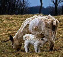 Feeding calf and mother by Violaman