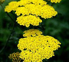 Yellow yarrow by kkphoto1