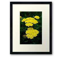 Yellow yarrow Framed Print