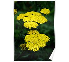Yellow yarrow Poster