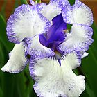 Lavender Blue Iris by kkphoto1