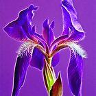 Purple Passion by Bill Morgenstern