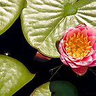 Water Lily IV    / by Shelley  Stockton Wynn