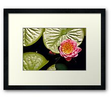 Water Lily IV    / Framed Print