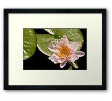 Water Lily V    /    Framed Print