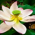 Water Lily VI    / by Shelley  Stockton Wynn