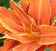 Sparkling Orange Lily by LoneAngel