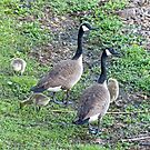 Geese Family by Susan S. Kline