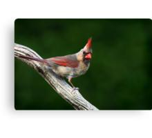 Northern Cardinal (female) Canvas Print