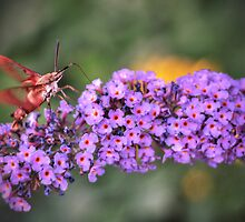 Hummingbird Moth by Aaron Campbell
