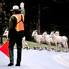 Dahl Sheep Crossing Guard by ShotByAWolf