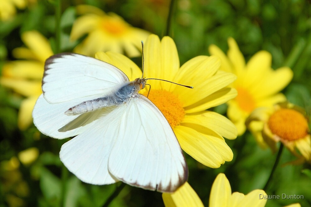The Cabbage White Butterfly by ©Dawne M. Dunton