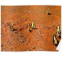 Yellow butterflies  Poster