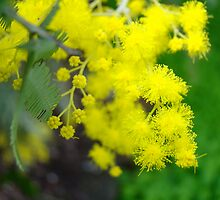 blossoms for the wattle by Jan Stead JEMproductions