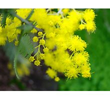blossoms for the wattle Photographic Print