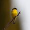 (Birds Category) - Family - Fringillidae - Finches