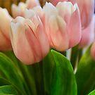 Sweet Tulip by Steven  Siow