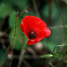 Poppy of Rememberance by Jodi Turner
