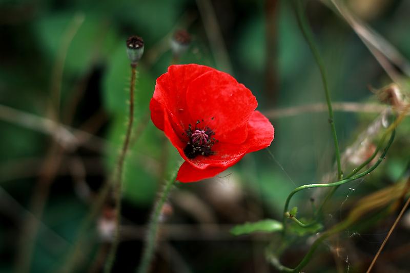 Poppy of Rememberance by Jodi Turner