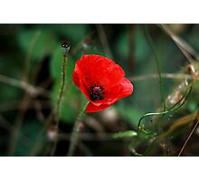 Poppy of Rememberance Photographic Print