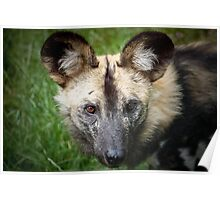 African Hunting Dog ....... Poster