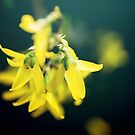 Forsythia by Caterpillar