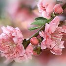 Cherry Blossom Time by picketty