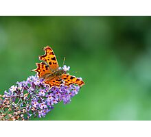 Comma - Butterfly Photographic Print