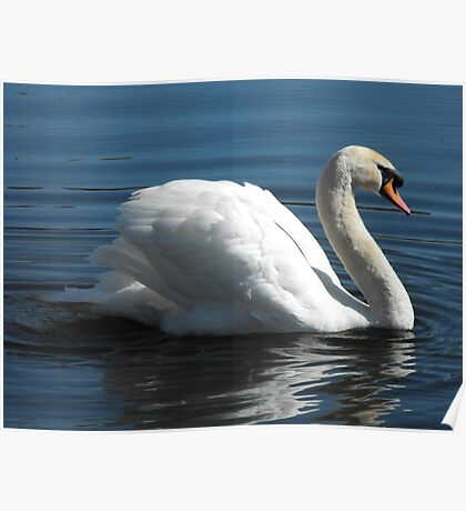 Majestic Swan Poster