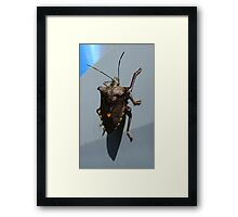 Forest Bug, Pentatoma rufipes Framed Print