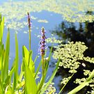 Pickerelweed by ©Dawne M. Dunton