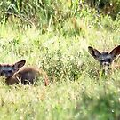 Bat-eared Fox - OTOCYON MEGALOTIS by Magriet Meintjes
