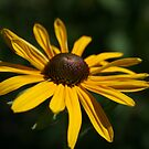 Yellow Daisy by Pamela Jayne Smith