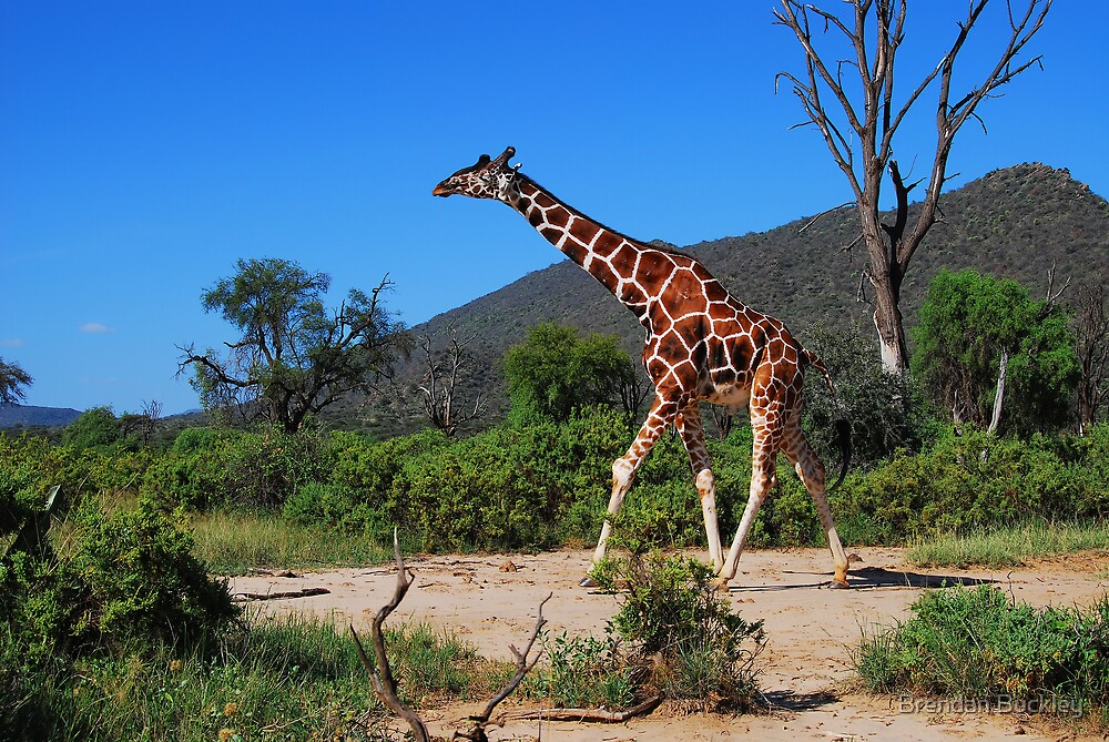 Reticulated Giraffe - Samburu by Brendan Buckley