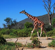 Reticulated Giraffe - Samburu by Brendan Buckley
