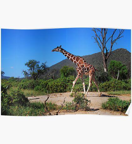 Reticulated Giraffe - Samburu Poster