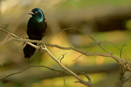 Common Grackle by MitchM