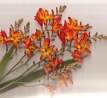 Flaming Montbretia by missmoneypenny