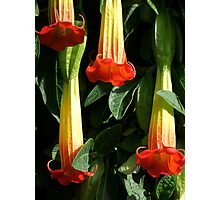 Red Angel's Trumpet Photographic Print