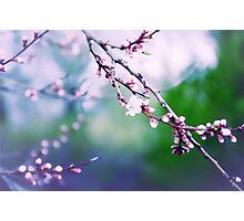 Sakura (3) Photographic Print