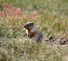 Prairie Dog by Alyce Taylor